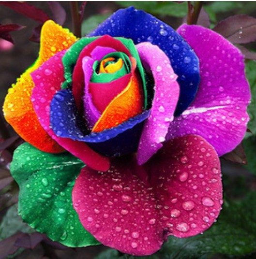 Free shipping 100pcs Beautiful Rainbow Rose Seeds Multi-colored Rose seeds Rose Flower Seeds