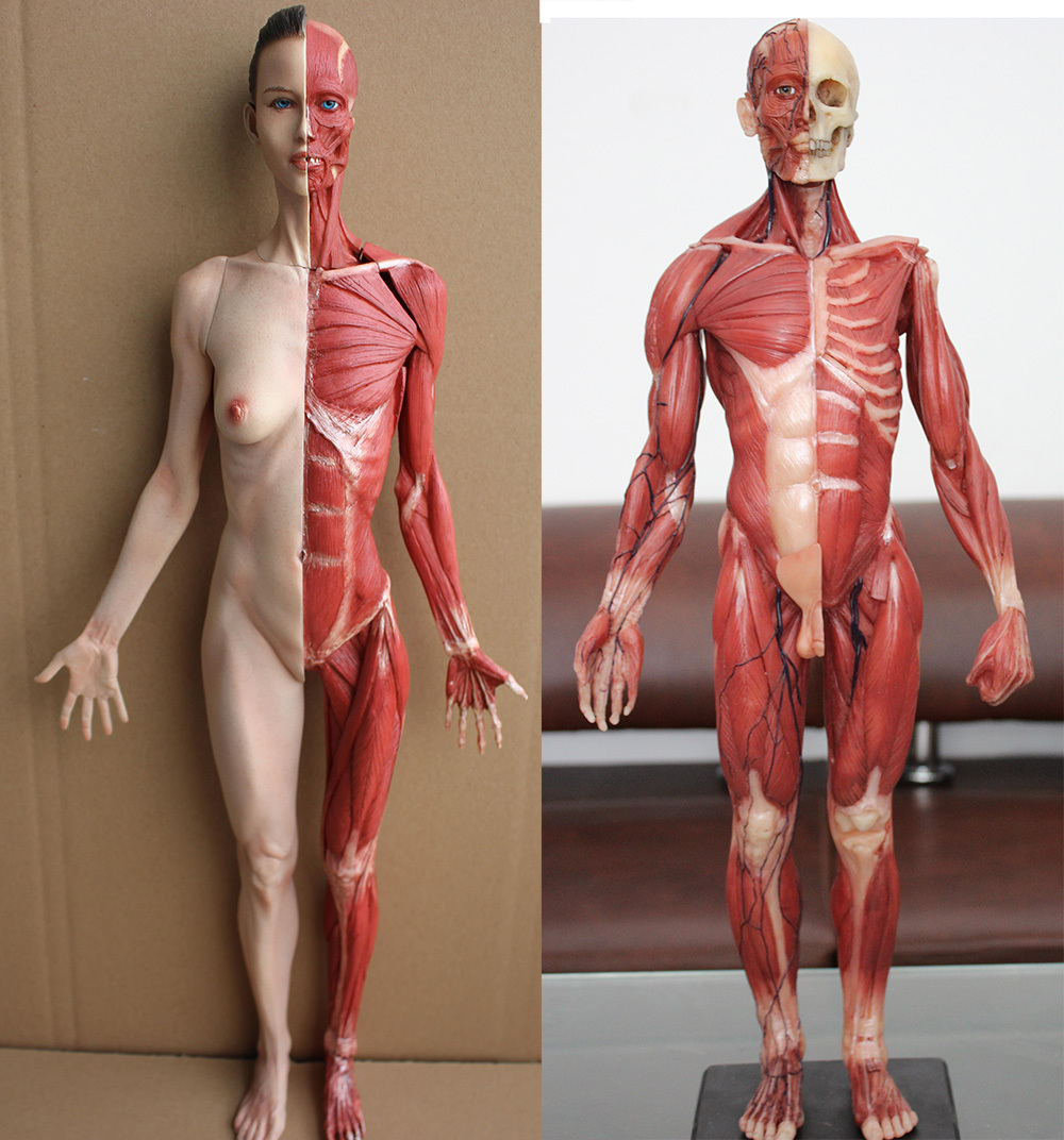 2pscbox Arts Anatomical Model Of Human Muscle Structure With Art