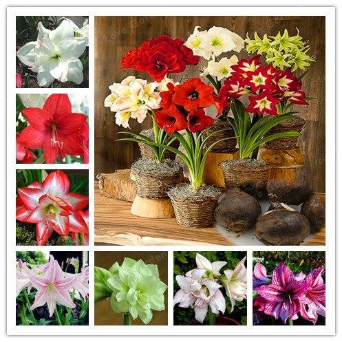 2 pærer Amaryllis pærer True Hippeastrum pærer blomster, Barbados Lily pottet hjem haven planter på Bulbous balkonen (ikke bonsai)