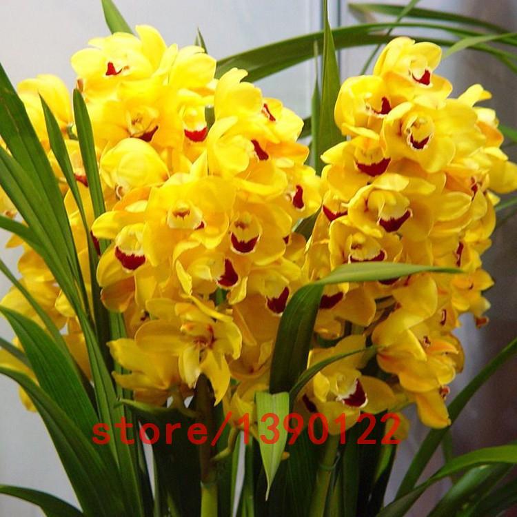Image gallery orquideas cymbidium - Cuidar orquideas en casa ...