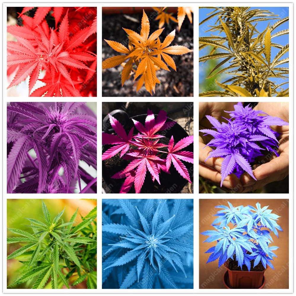 100 pcs Japanese Rainbow Hemp Seeds Rare Flower Seeds 2017 New Varieties Bonsai Hemp Plants Vegetable Seed For Home Garden