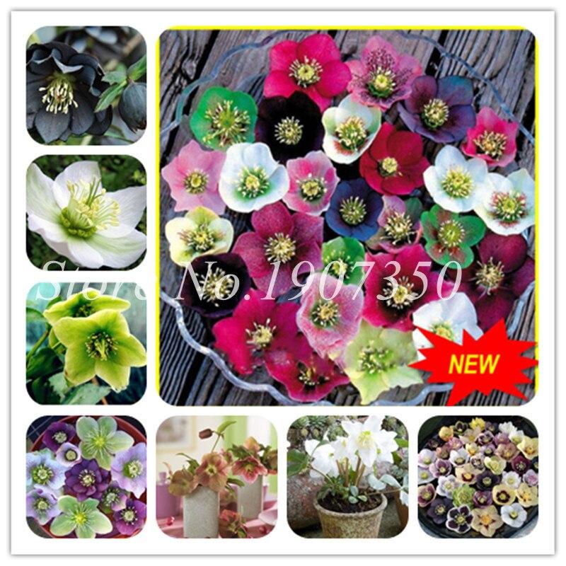 Новые японские бонсай растения в горшках Helleborus бонсай 100 шт Diy садовое растение для дома цветы как Камелия бонсай