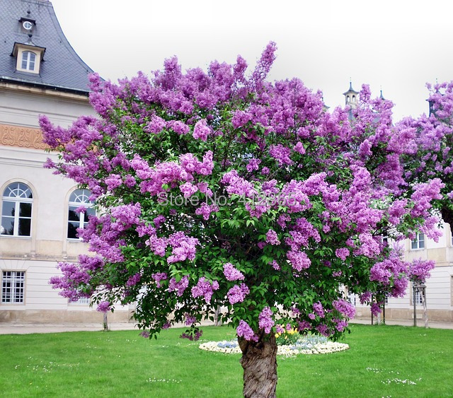 Original package lilac flower tree seeds 20pcsbag perennial garden original package lilac flower tree seeds 20pcsbag perennial garden aromatic plant seeds in bonsai from home garden on aliexpress alibaba group mightylinksfo Gallery