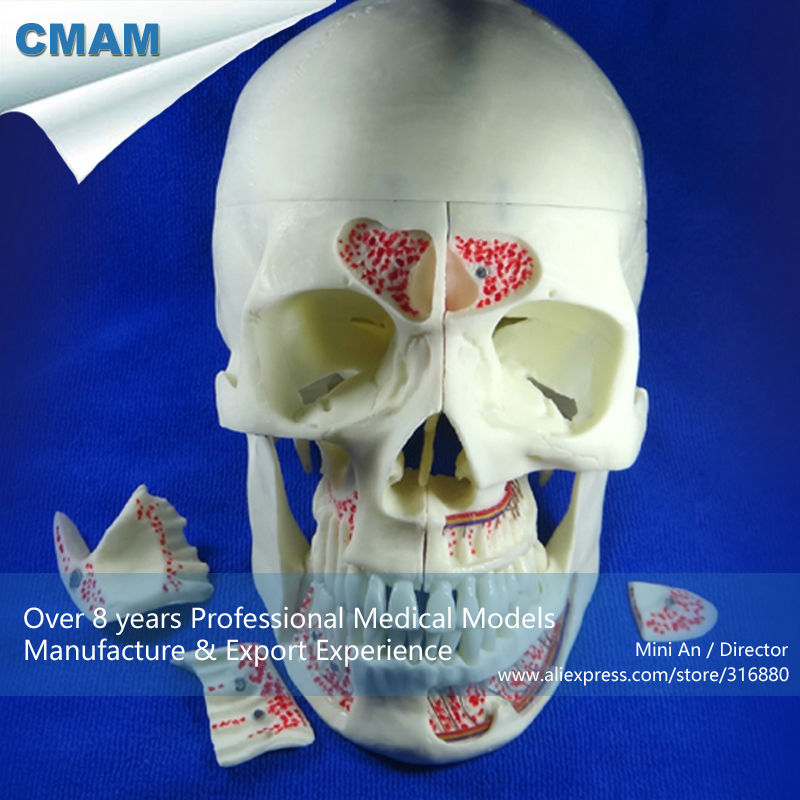 12569 CMAM-DENTAL10 Human Medical Anatomical Adult Osteopathic Skull Model, 10-Part Bone Color 12384 cmam vertebra01 human lumbar vertebrae w sacrum
