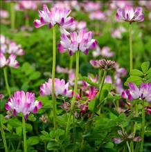 Milk vetch bonsais, fuchsia forage bonsais, soil fertility, balcony garden, flower planting 100pcs(zi yun ying)(China)