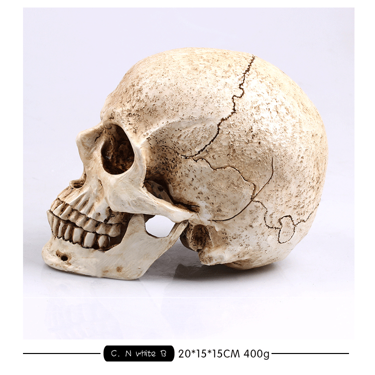 13669 CMAM Art Skull Anatomy Model, Natural Size Skull for Drawing ...