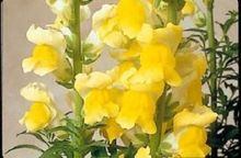 30+seeds/pack ANTIRRHINUM SONNET YELLOW SNAPDRAGON FLOWER SEEDS /LONG LASTING ANNUAL