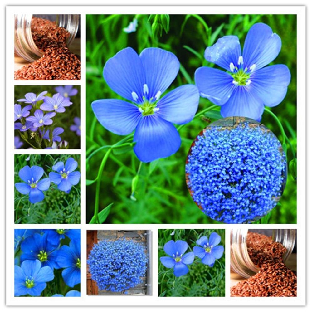 Семя льна цветок, синий лен семена цветов, семена льна-200 Семян частиц ...