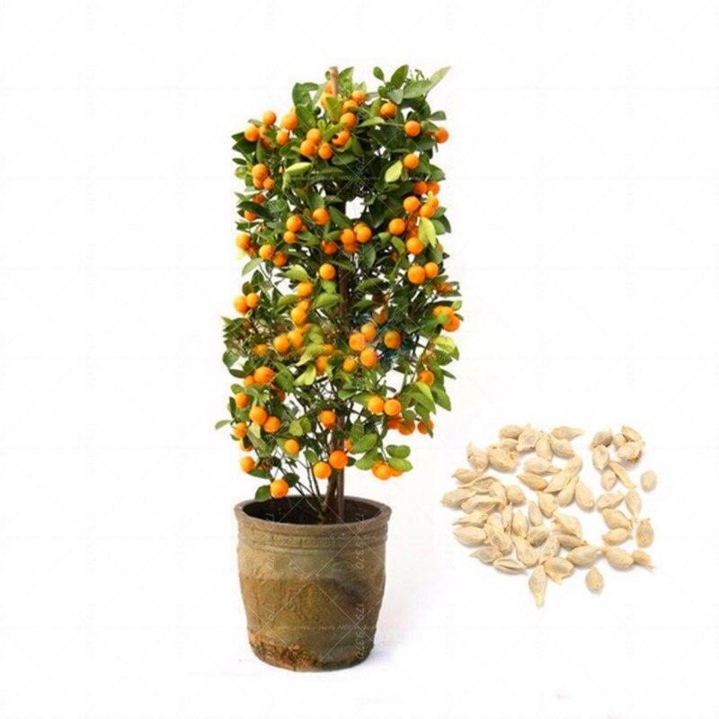 40 шт. кумкват бонсай оранжевый семена пиона съедобные фрукты, технология бонзаи саженцы деревьев для дома и сада домашние комнатные растени...