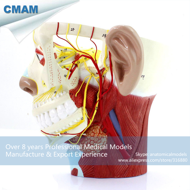 CMAM BRAIN21 Nerves of Head with Trigeminal Nerve and Branches-in ...