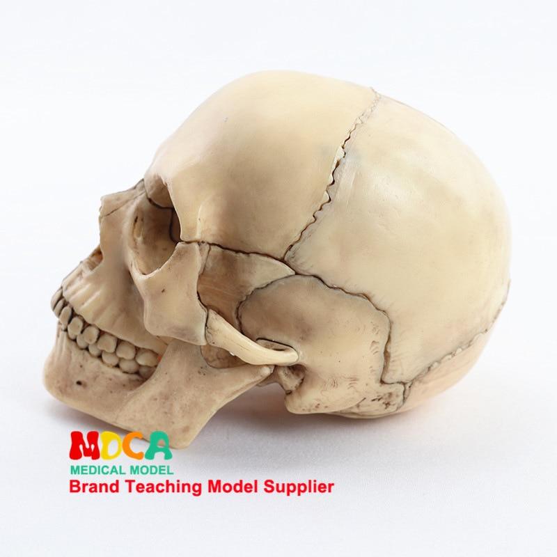 1:2 Lifesize Human Skull Model True Colors Medical Teaching Equipment 15 Parts Anatomical Anatomy Skeleton Model