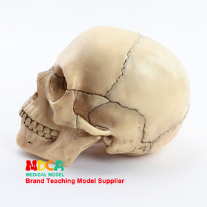 Image 1 - 1:2 Lifesize Human Skull Model True colors Medical teaching equipment 15 Parts Anatomical Anatomy Skeleton Model