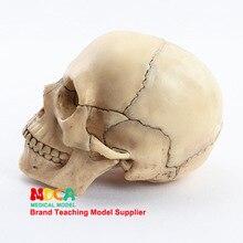 Модель человеческого черепа Lifesize в масштабе 1:2, реальные цвета, медицинское обучающее оборудование, 15 частей, анатомическая модель