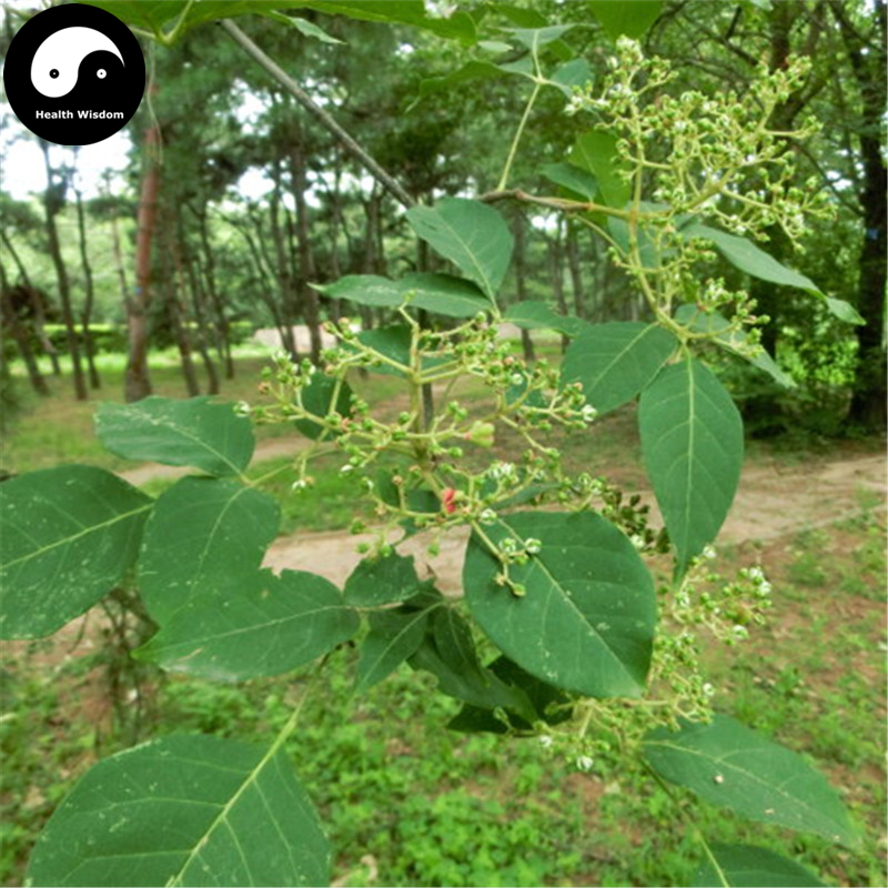 Buy Evodia Tree Semente 100pcs Plant Evodia Daniellii Tree Chou Tan For Wu Zhu Yu