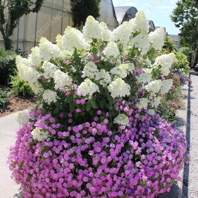 20 pz/pacco Ortensia Paniculata vaniglia Fraise Fragola Ortensia bonsai Bonsai Fiore bonsai Pianta In Vaso Per La Casa Giardino Pla