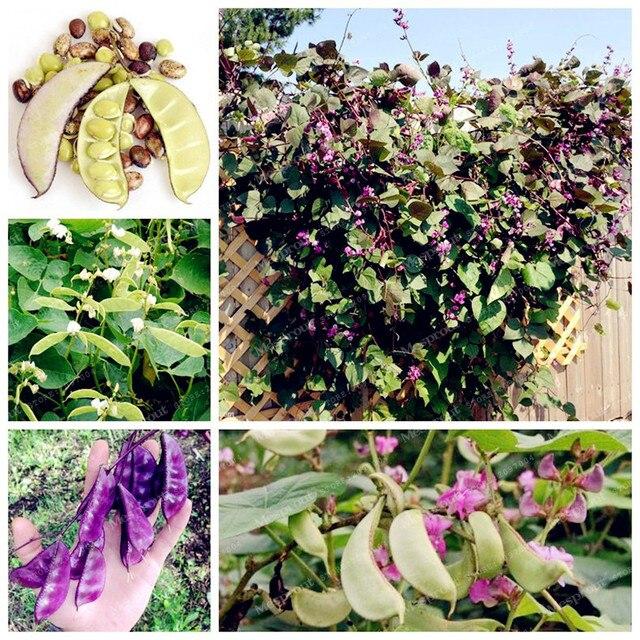 Schöne Kletterpflanzen 10 haricot bean samen schöne lila schoten kletterpflanzen lablab