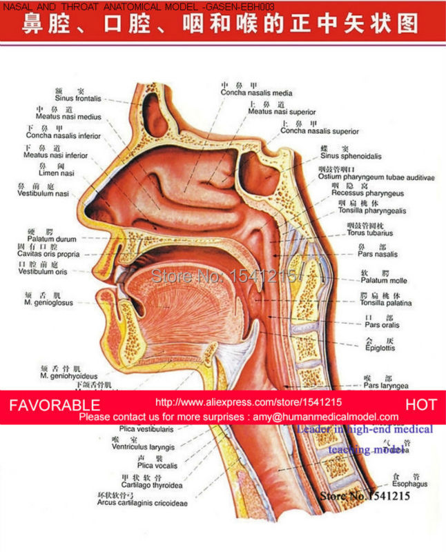 Anatomy Of Mouth And Throat Choice Image - human body anatomy
