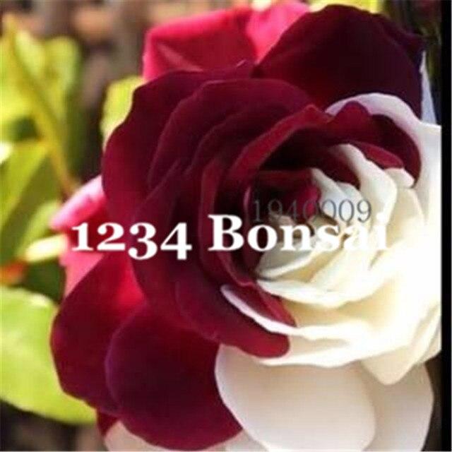 Il trasporto Libero 200 pz Rosa Bonsai, Rosa Piante Da Fiore, Bonsai Fiore flores, Profumo Debole, naturale Piante di Crescita per il Giardino di Casa