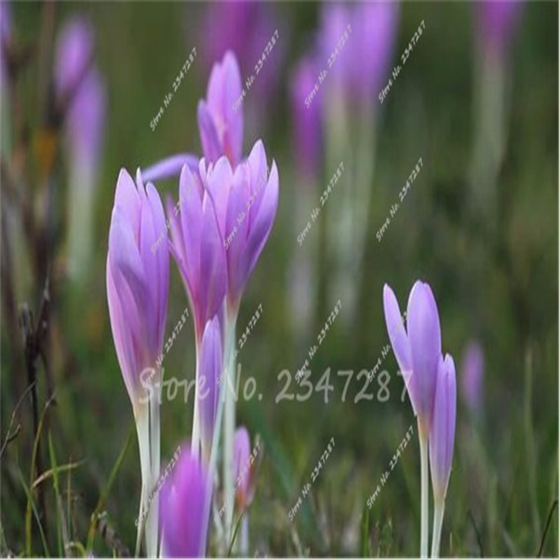 Aliexpress.com : Buy 2016 Rare Saffron Flower Bulbs ...