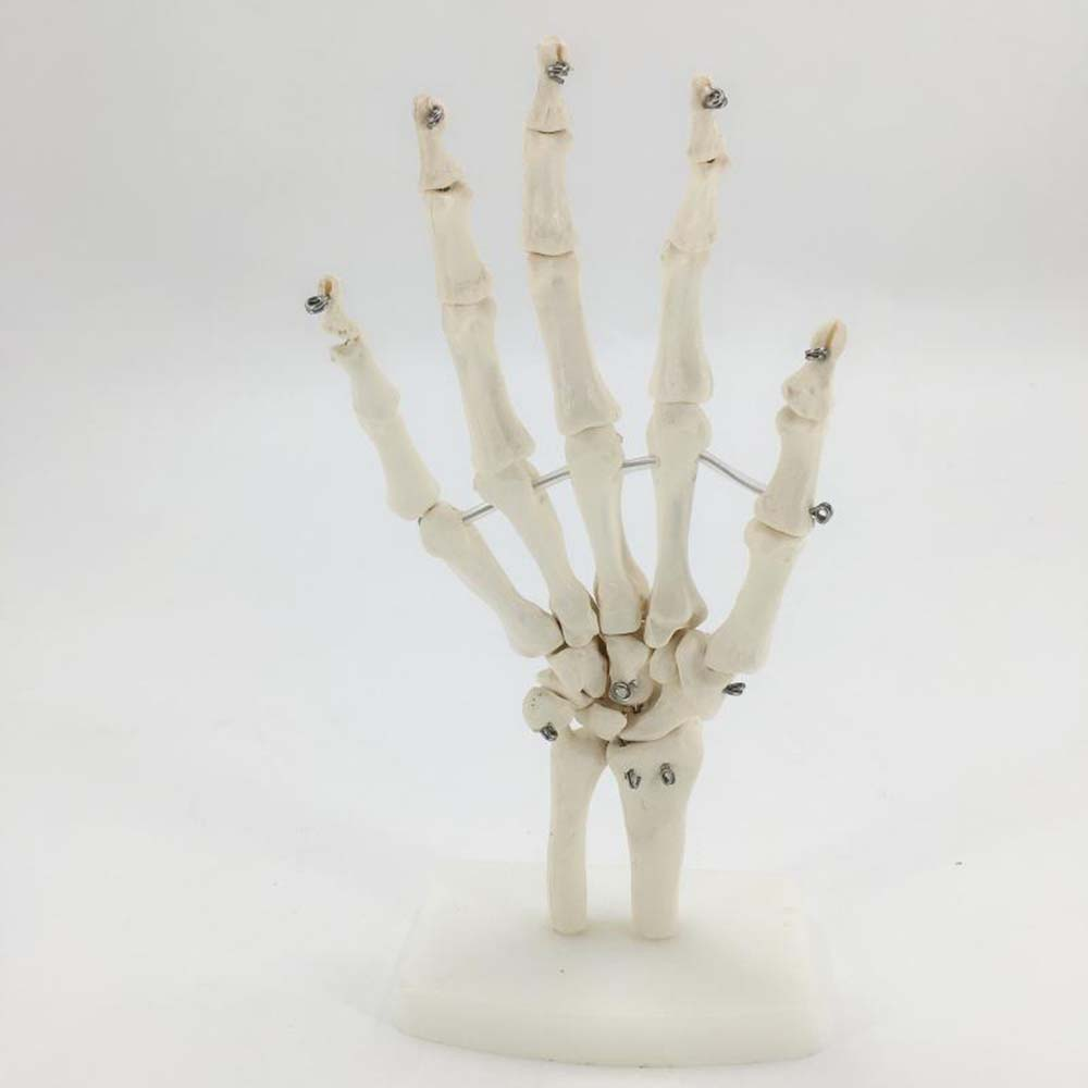 Skeleton Hand Joints Model Medical Teaching Anatomical Model Anatomy animal skeleton anatomy model veterinary medical teaching aids pet dog anatomical large dog skull model gasencx 0074