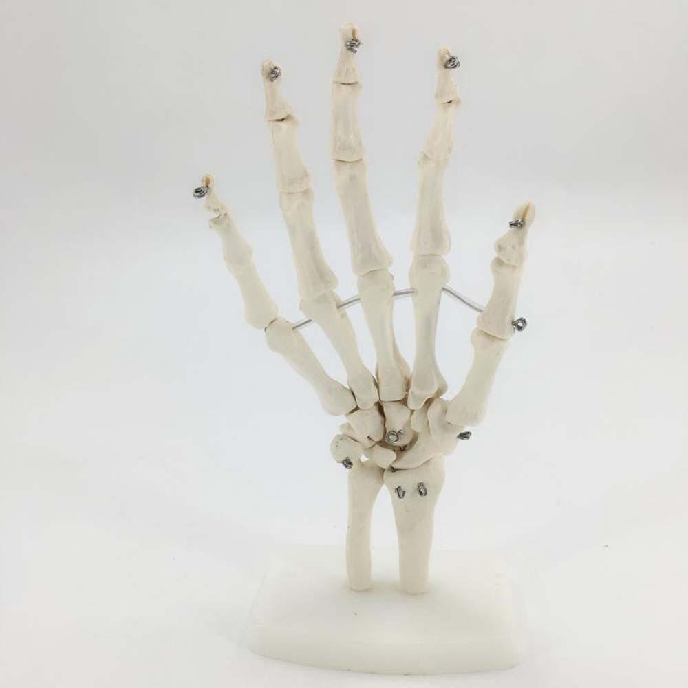 Skeleton Hand Joints Model Medical Teaching Anatomical Model Anatomy big tyrannosaurus 4d master puzzle assembling toy animal biology dinosaur organ anatomical model medical teaching model