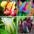 100PCS bonsaiTulip ,Tulip agesneriana,aromatic Flower potted plants Most Beautiful Colorful Tulip Plants Perennial Garden