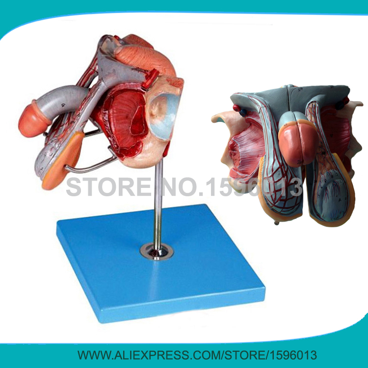 Advanced Male Genital Organs model, Anatomical Reproductive Organ model human anatomical male genital urinary pelvic system dissect medical organ model school hospital