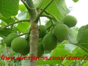 Home garden plant seed physical nut Barbados removal of jatropha tree seed free shipping ,5seeds/bag