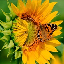 diy sunflower diamond painting flower full round butterfly Mosaic making embroidery