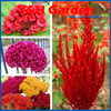 Cockscomb Seeds Potted Seed Flower Seed Variety Complete The Budding Rate 95 Mixed Colors