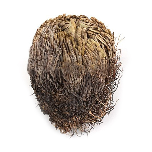 New Live Resurrection Plant Rose Of Jericho Dinosaur Plant Air Fern Spike Moss