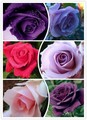 100 Seeds 25 colors rare rainbow rose flower seeds lover Multi-color Plants Home Garden bonsai To Your Lover