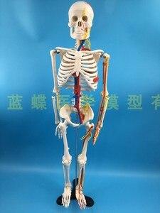 Image 5 - 85cm İskelet modeli insan modeli kas omurga sinir sistemi tıbbi öğretim eğitim ekipmanları İskelet anatomisi modeli
