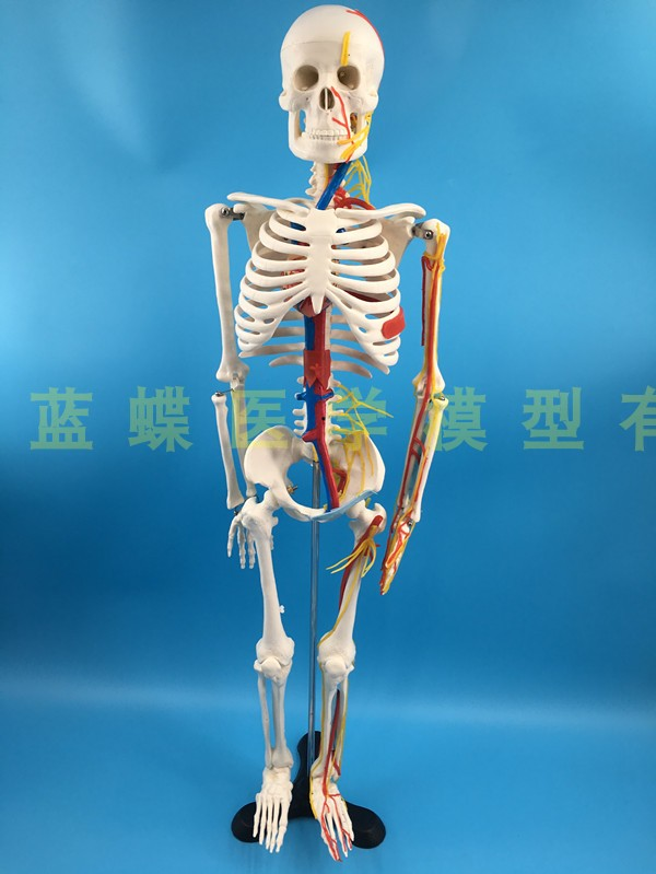 Image 5 - 85cm skeleton model human model with muscle spine nerve system 