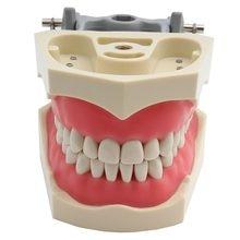 Adc modelo credenciado dentes dentários modelo de ensino dental modelo de demonstração dente com parafuso-em 32 pces dentes