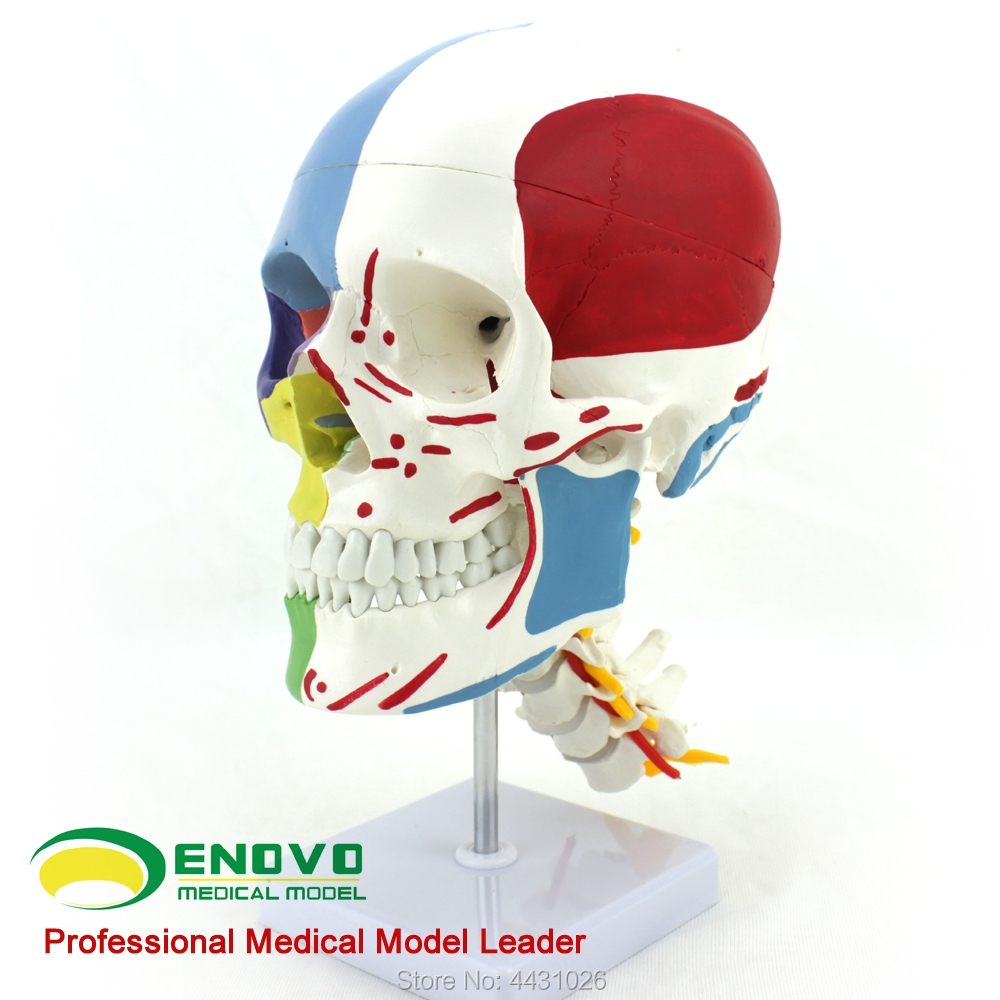 ENOVO Medical human.skull bone model skull bone partition muscle model nerve Department of orthopedics Teaching prediction of bone length from bone fragments