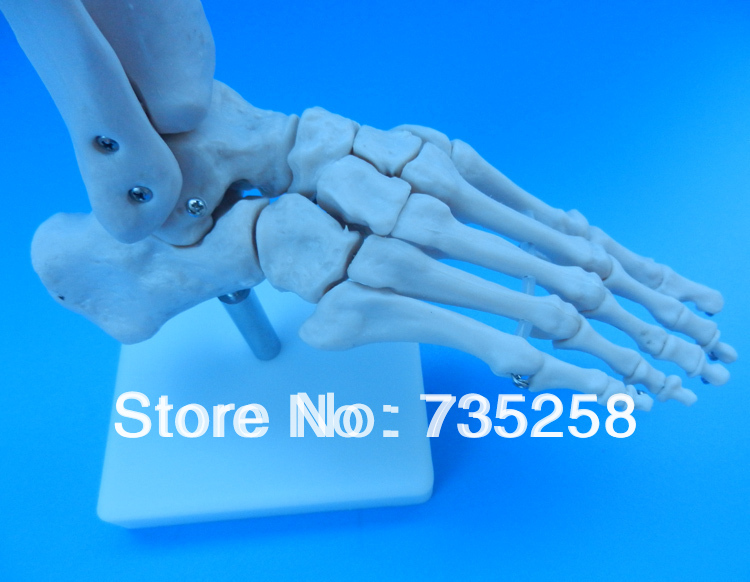 Life-Size Foot Joint,Natural Feet Joint Simulation Model,Foot Joint Model foot shaped foot callouses removal natural pumice stone small