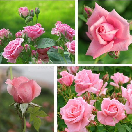 Secret Garden 100 Seeds China Rare Pink Rose Seed Flower Bonsai Lover Romantic Pots Planters Home Plant In From On