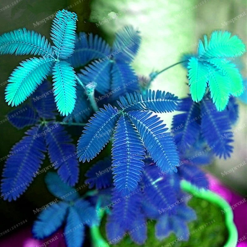 Hot Sales! 30pcs Bashful Grass Seeds Mimosa Pudica Linn, Foliage Mimosa Pudica Sensitive Home Garden Free Shipping