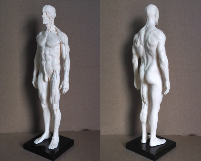Human Anatomy Model For Artists Image Collections Human Body Anatomy