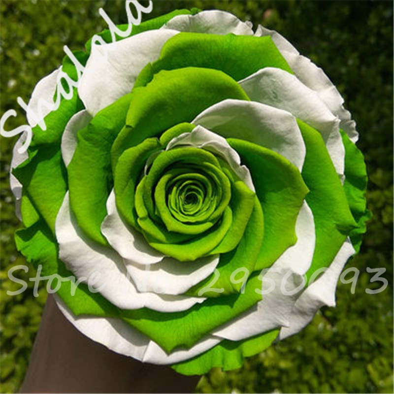 Rare green rose images galleries with for Green colour rose images