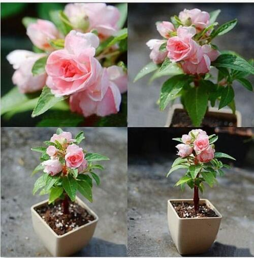 100 шт. комнатные растения бонсай розовый бальзамин Balsamina семена ...