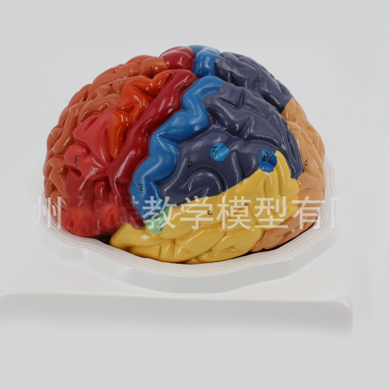 2 Part Color Humanbrain Function Domain Anatomy Anatomical Model