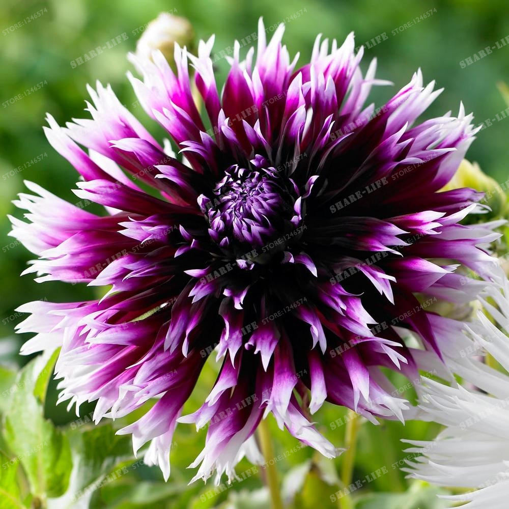 Rare Mixed Colors Dahlia Seeds Beautiful Perennial Flowers Seeds 10