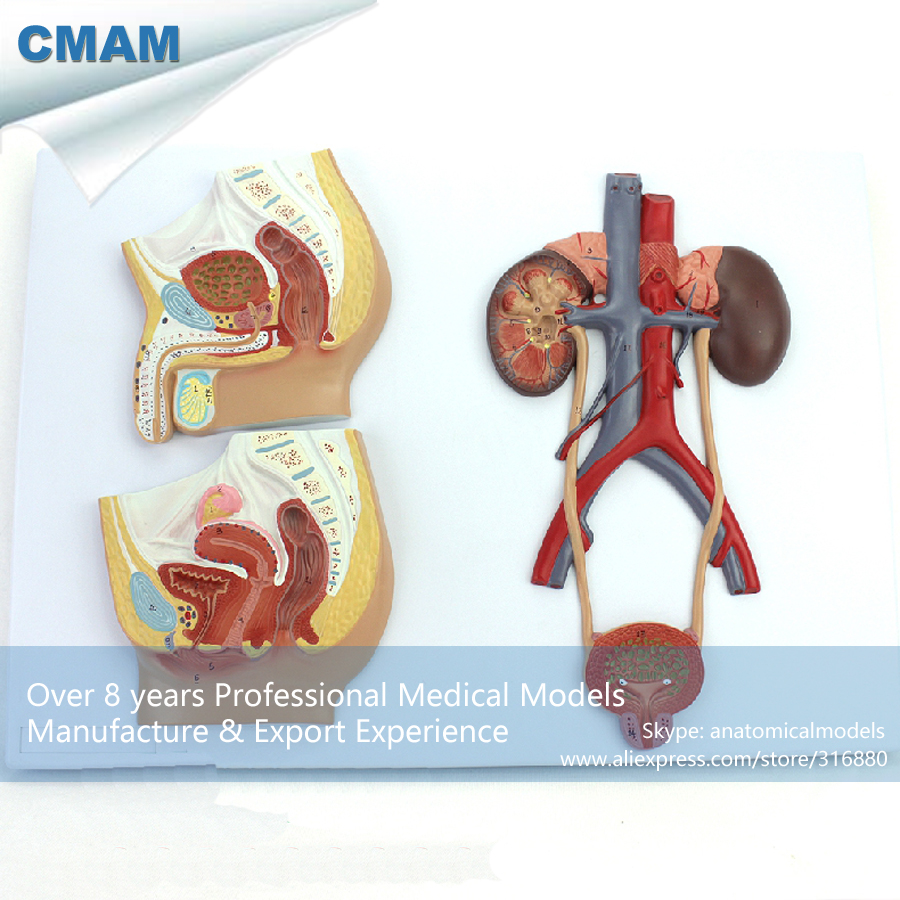 CMAM-UROLOGY10 Section Anatomical Human Urinary System Medical Female Male Teaching Tool Model cmam urology06 dual sex human urinary system in situ male and female bladder interchangeable