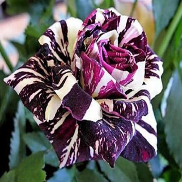 黒ドラゴンローズ bonsais 、美しいストライプローズブッシュ植物、 Diy のホームガーデン花の 100 ピース