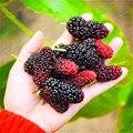 Mulberry Bonsai Sweet Black Berry Giant Plants Miracle Fruit plant Tohum Rare Tree Bonsai Garden Bush Diy Home Garden 100 PCS