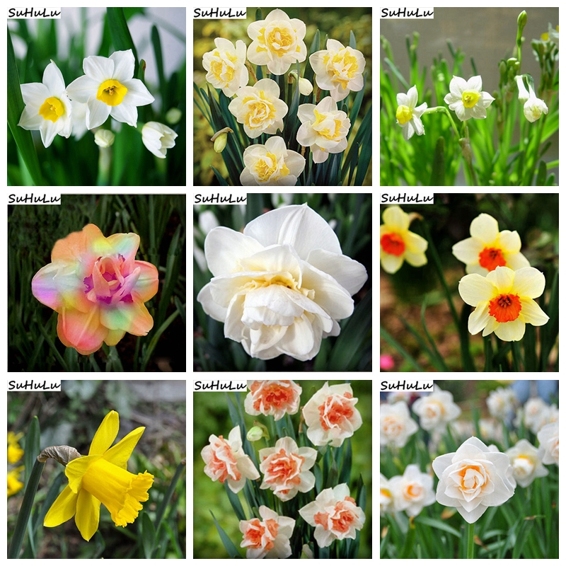 120 Pcs Rainbow Narcissus Flower Mixed Bonsai (Not Daffodil Bulbs) Daffodil Double Petals Flore Potted Diy Home Garden Planting