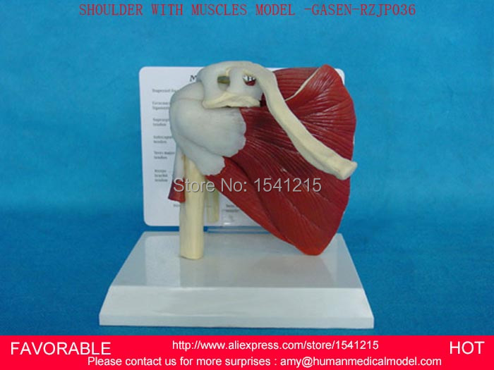 NATURAL SHOULDER TRAINING HUMAN MODEL SHOULDER JOINT MODEL HUMAN SKELETON MODEL OF THE SHOULDER JOINT-GASEN-RZJP036 education training and human rights of the prisoners