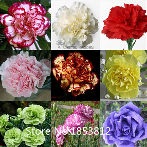 Sale!2016 Asian Rare Carnations Seeds Flowers Seeds 200pcs/pack 20 Species Bonsai Seeds Free Shipping